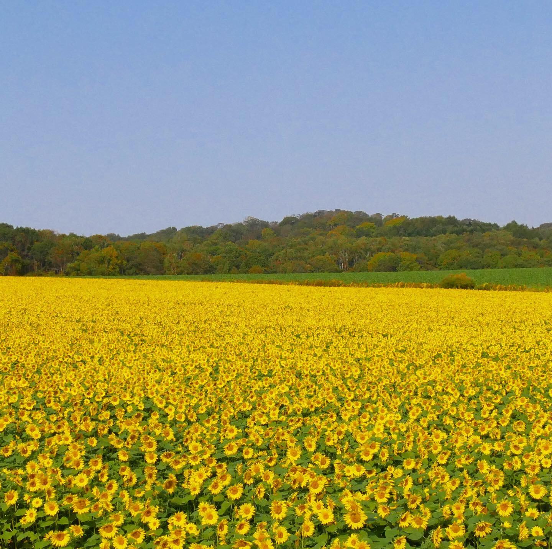 パレットの丘のひまわり畑