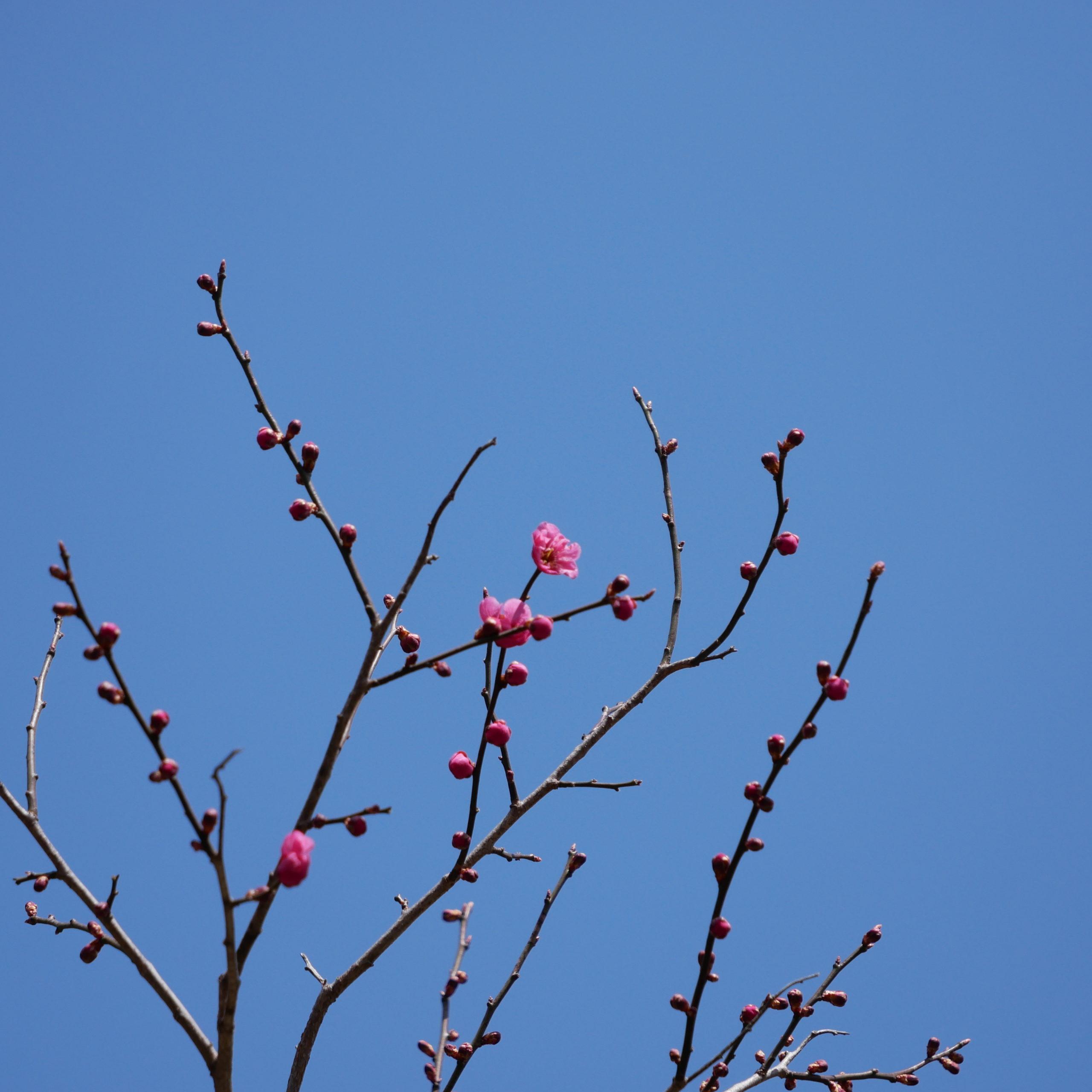 北海道神宮の梅の花